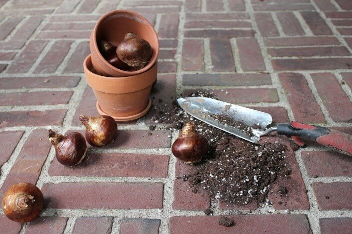 planting pot with dirt and bulbs